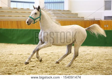 Young purebred lipizzan breed horse canter alone. Check out my other horse photos please