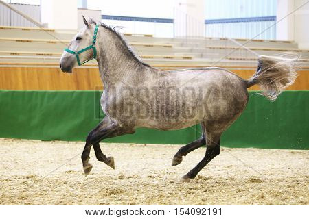 Beautiful purebred young lipizzan horse galloping across empty riding hall. Check out my other horse photos please
