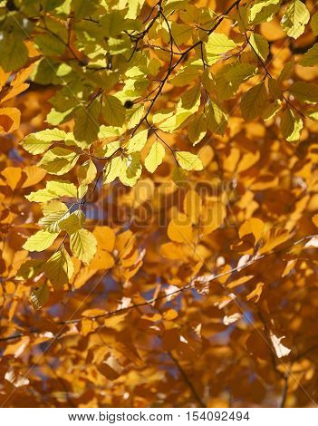 Lots of yellow linden tree leafs during autumn