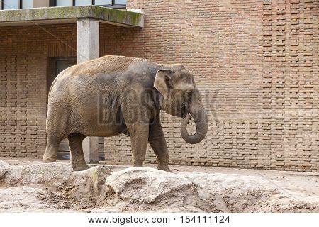 Asian Elephant (Elephas maximus) in a Zoo