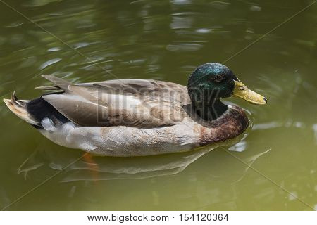 Image of male mallard ducks (Anas platyrhynchos) floating on the water.