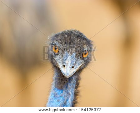 The emu is the second-largest living bird by height, after its ratite relative, the ostrich. It is endemic to Australia where it is the largest native bird.