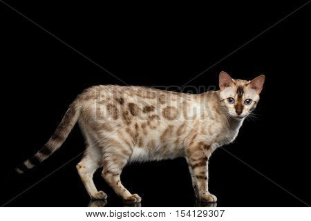Rare White Bengal Cat with Blue eyes Walking and Looking in Camera on isolated Black Background with reflection, side view