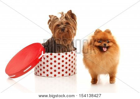 Two sweet dog -Yorkshire terrier and Pomeranian Spitz in presents box