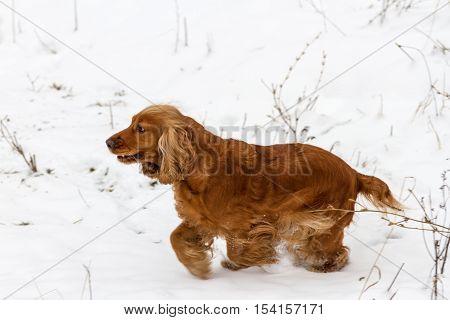 Spaniel Running On The White Snow