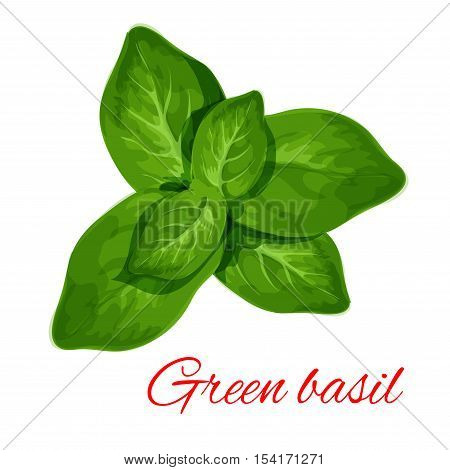 Green basil. Vector isolated spice herb leaves icon. Vector emblem of green basil herb for design element in culinary, cooking ingredient, package decoration, sticker, label