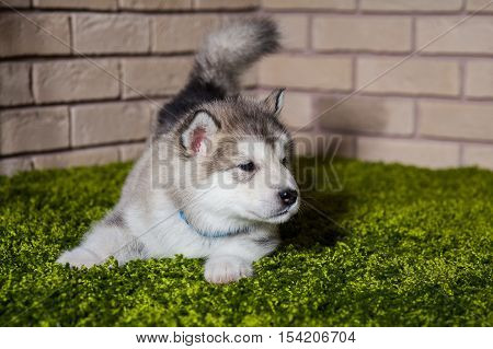 One Malamute Little Puppy With Wagged Tail Sniffing The Air