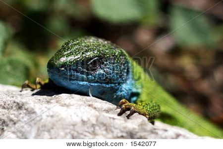 Gecko Taking A Sunbath
