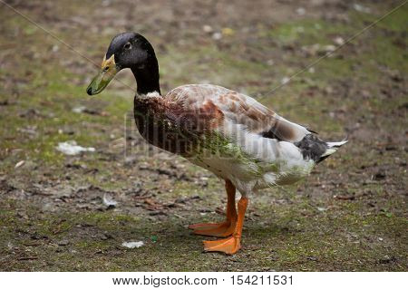 Domestic duck (Anas platyrhynchos domesticus). Domestic bird.