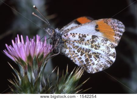 Buttterflyonthistle