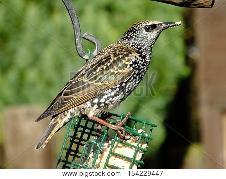 Starling in its winter plunage at a cage feeder
