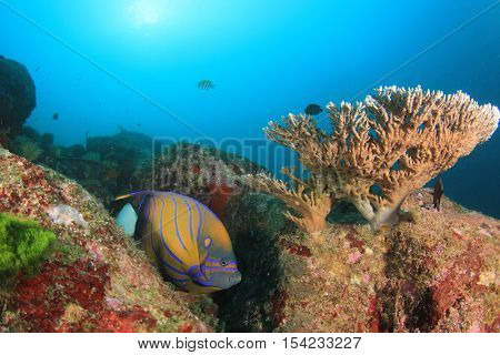 Blue-ring Angelfish: Tropical fish on coral reef
