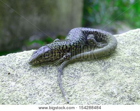 Common lizard (Zootoca vivipara) basking on a window cill