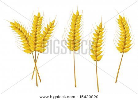 Vector version. Ripe wheat isolated on white as an agriculture concept. Jpeg version also available