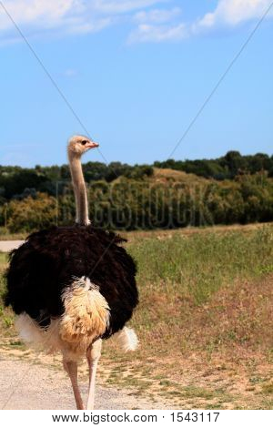 Ostrich Is Walking.