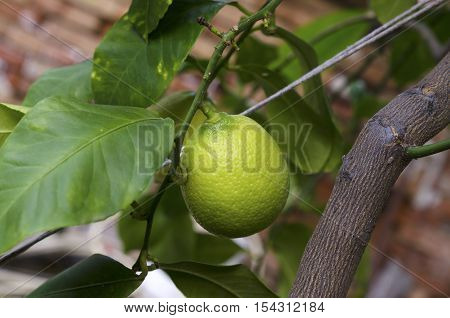 Home lemon tree in a backyard. Selective focus