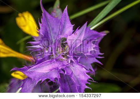 Purple flower plants Ivan da Marya closeup
