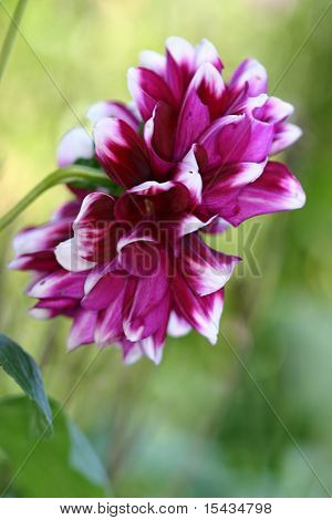 Beautiful Dahlia In The Garden