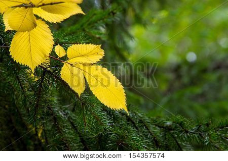 Texture, Pattern, Background. Leaves In Autumn Yellow Leaves On A Background Of Elm Tree