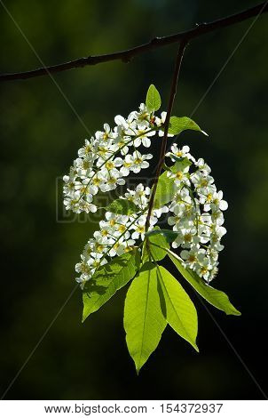 Branch and blossom of bird cherry (Prunus padus). Closeup. Bird cherry branch isolated. bird cherry tree branch with flowers .