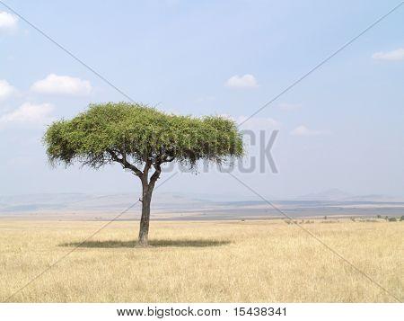 acacia tree masai mara