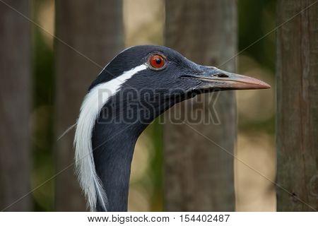 Demoiselle crane (Anthropoides virgo), also known as the blue crane. Wildlife animal.