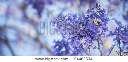 Colourful Blooming Jacaranda Tree