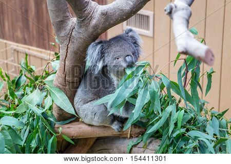 Nice Koala Bear in Forest Zoo Hong Kong