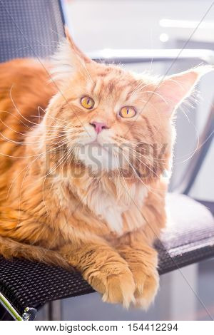 A Big Amazing Orange Cat with Big Yellow Eyes sitting on the Chair, Vertical View