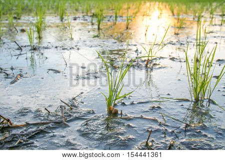 young rice plant in field of thailand