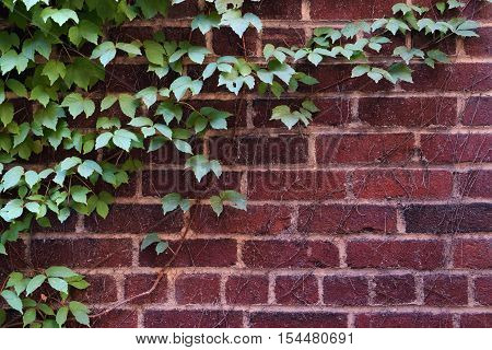 Green Leafy Vine on Red Brick Wall Texture