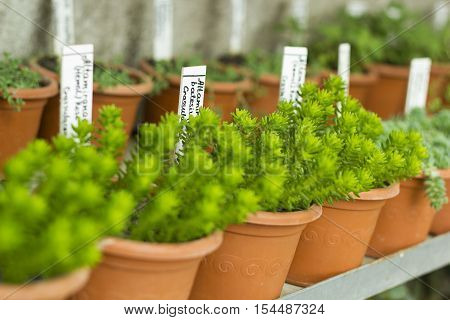 Interior of greenhouse for growing flowers and plants. Market for sale plants. Many plants in pots