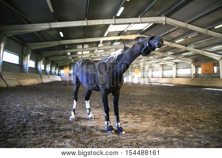 Saddle horse having fun in riders hall. Note: Visible grain at 100% best at smaller sizes