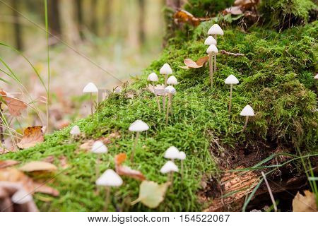 A group of poisonous mushrooms (fungus toadstools) and moss on rotten stump