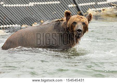 Brown bear waiting for prey in the Kurile Lake. Southern Kamchatka Wildlife Refuge.