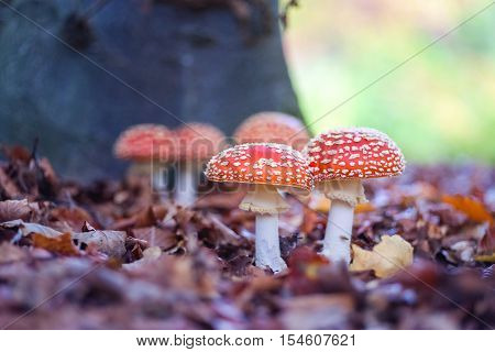 The red and white poisonous toadstool or mushroom called Amanita Muscaria or Fly Agaric