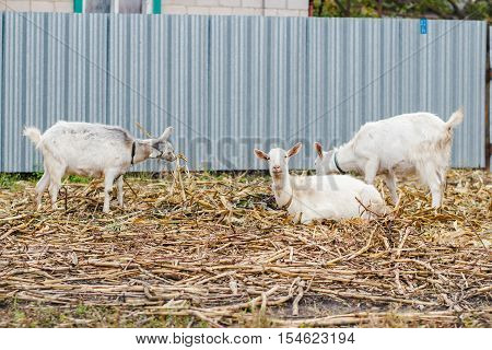 Two goats eating grass one goat looking at the camera white goats at the village in a cornfield goats on autumn grass