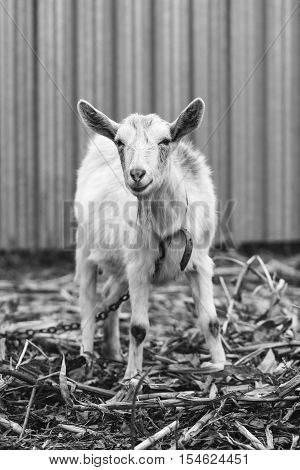 White goat at the village in a cornfield goat on autumn grass goat stands and looks at the camera