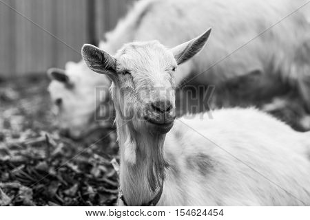 White goat at the village in a cornfield goat on autumn grass goat head looks at the camera