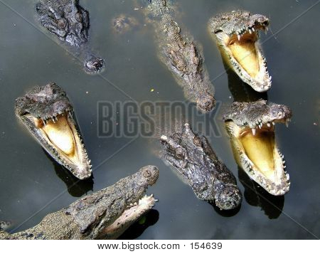 Voracious Crocodiles