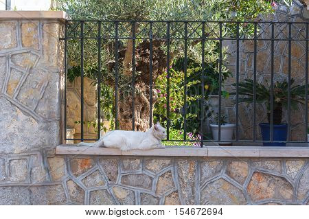 White cat lying on a wall in the town of Sant Elm Mallorca Spain.