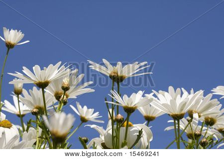 daisies in a garden with the sky as background (selective and soft focus)