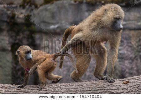 Guinea baboon (Papio papio). Female baboon with its newborn baby. Wildlife animal.
