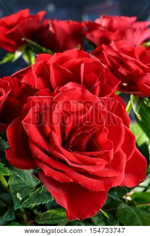 close up of beautiful red roses, vertical format