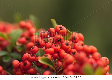 The photo shows cotoneaster bush. On the branches there are numerous berries.