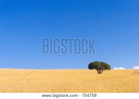 Cape Bäume #2