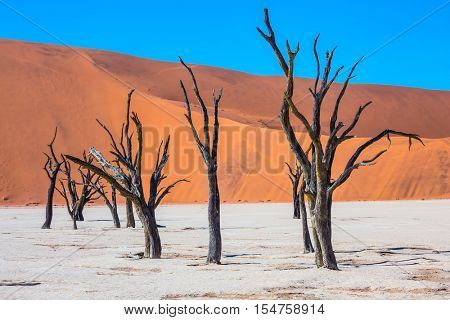 Travel to Namibia. Namib-Naukluft National Park. White bottom of dried-up lake surrounded by orange dunes. Morning long shadows of dry trees