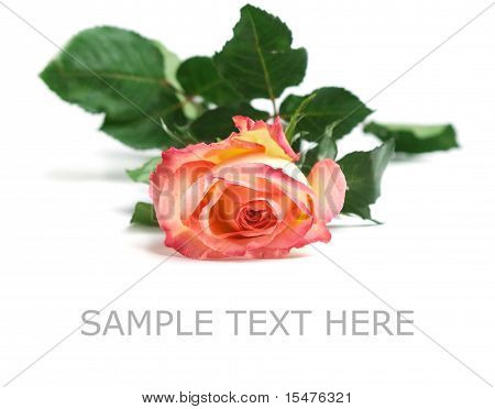 one red rose isolated
