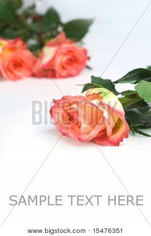 red roses over white