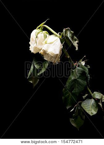 Wilted White Roses Isolated On Black